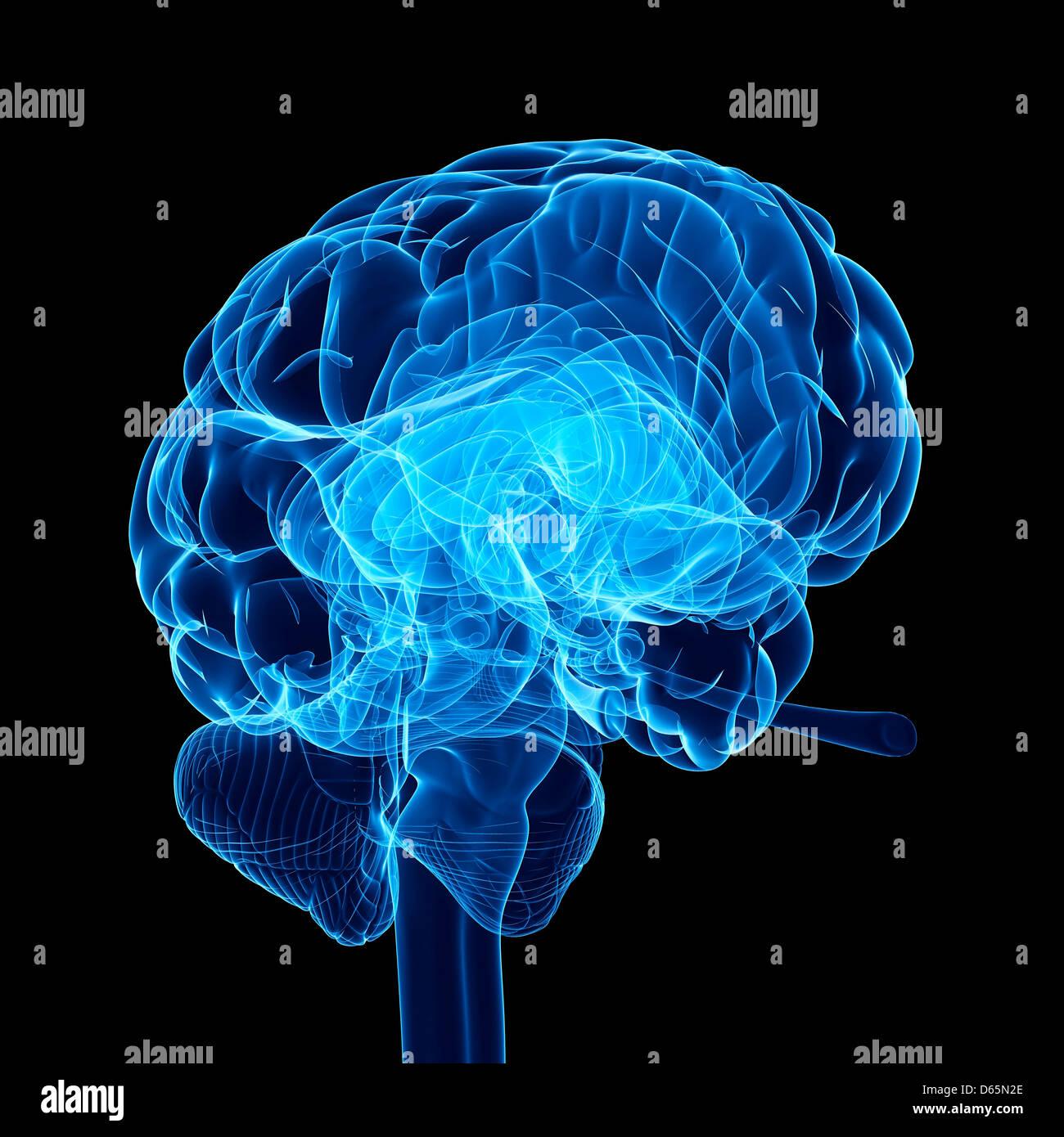 Human brain, artwork - Stock Image