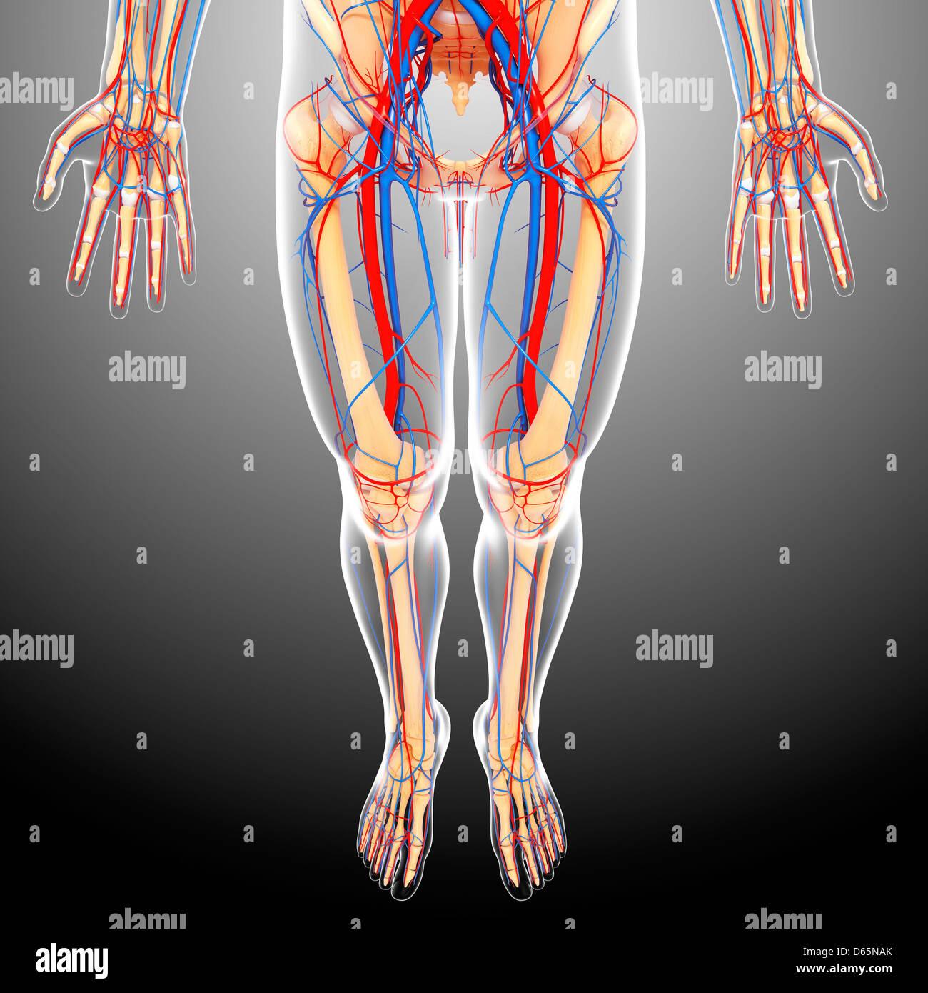 Lower body anatomy, artwork - Stock Image