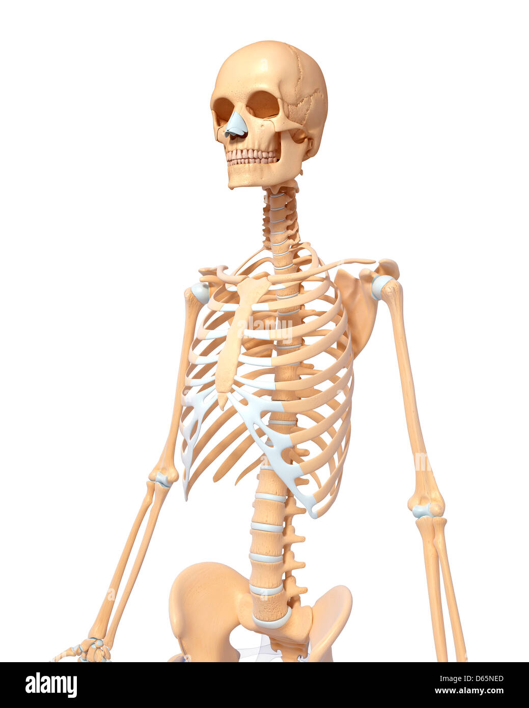 Human Spine Bone Man Stock Photos Human Spine Bone Man Stock