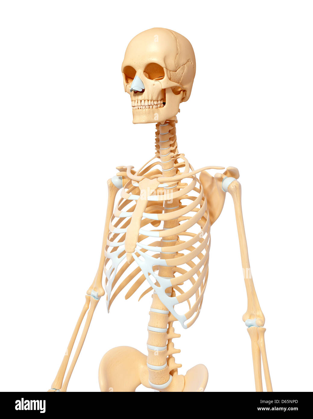3d rendered anatomy illustration of a female skeleton with.html