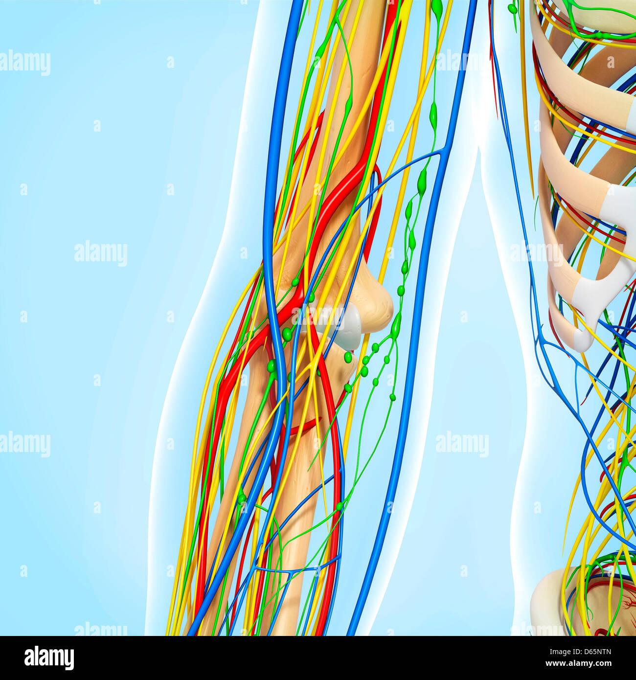 Elbow anatomy, artwork Stock Photo