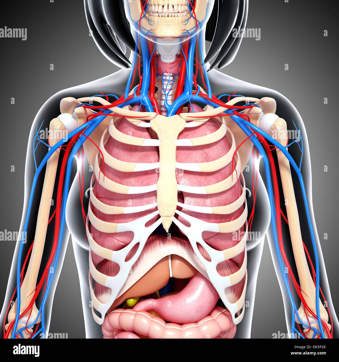 Female Chest Anatomy Stock Photos Female Chest Anatomy Stock