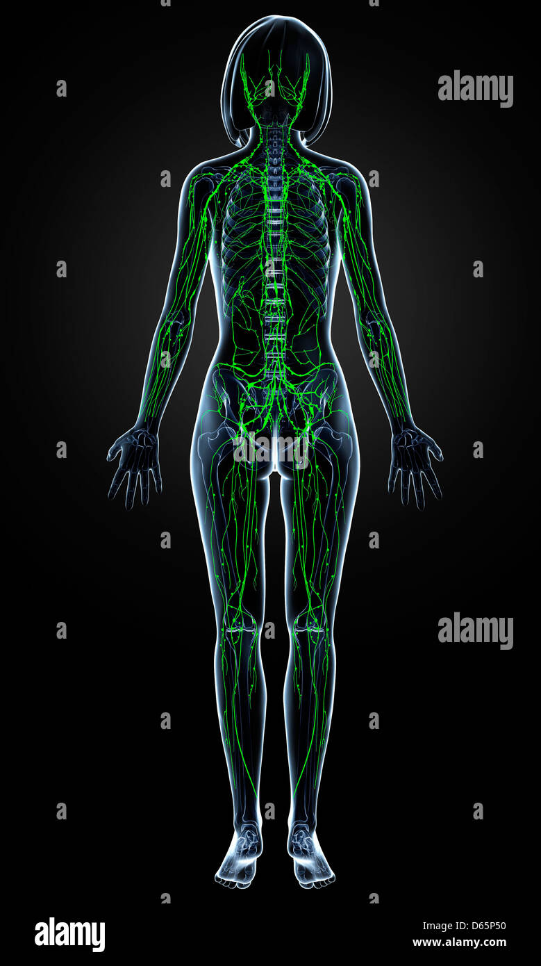 Female lymphatic system, artwork Stock Photo: 55446188 - Alamy