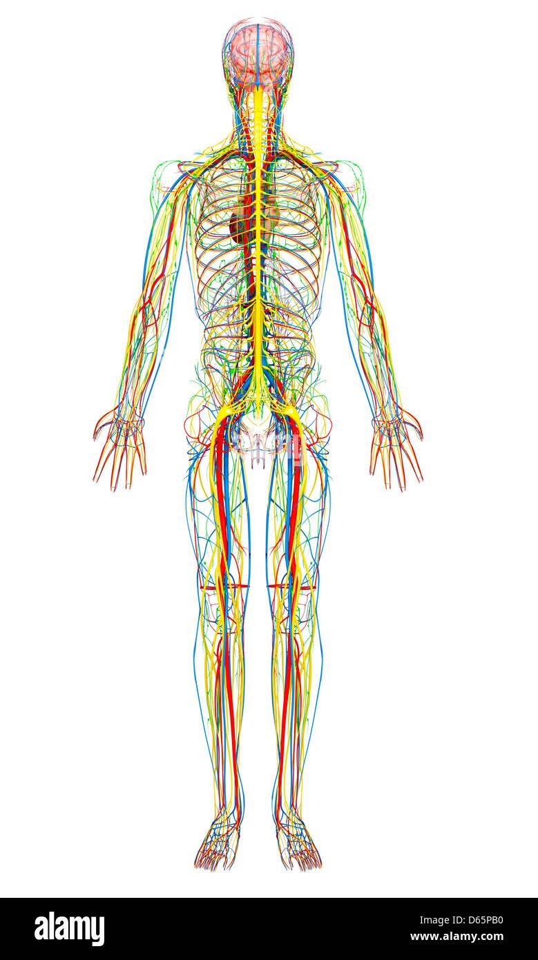 Male anatomy, artwork - Stock Image