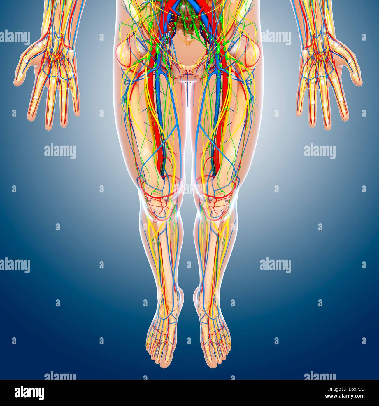 Lower body anatomy, artwork Stock Photo: 55446425 - Alamy