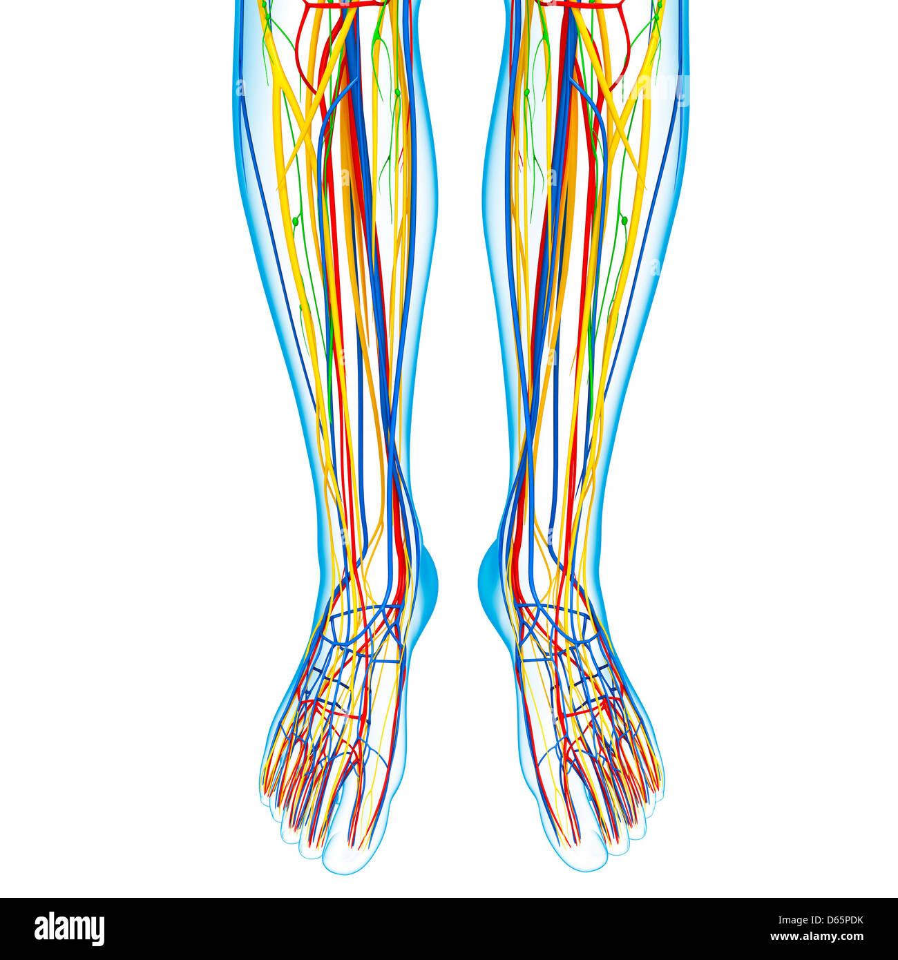 Lower leg anatomy, artwork Stock Photo: 55446431 - Alamy