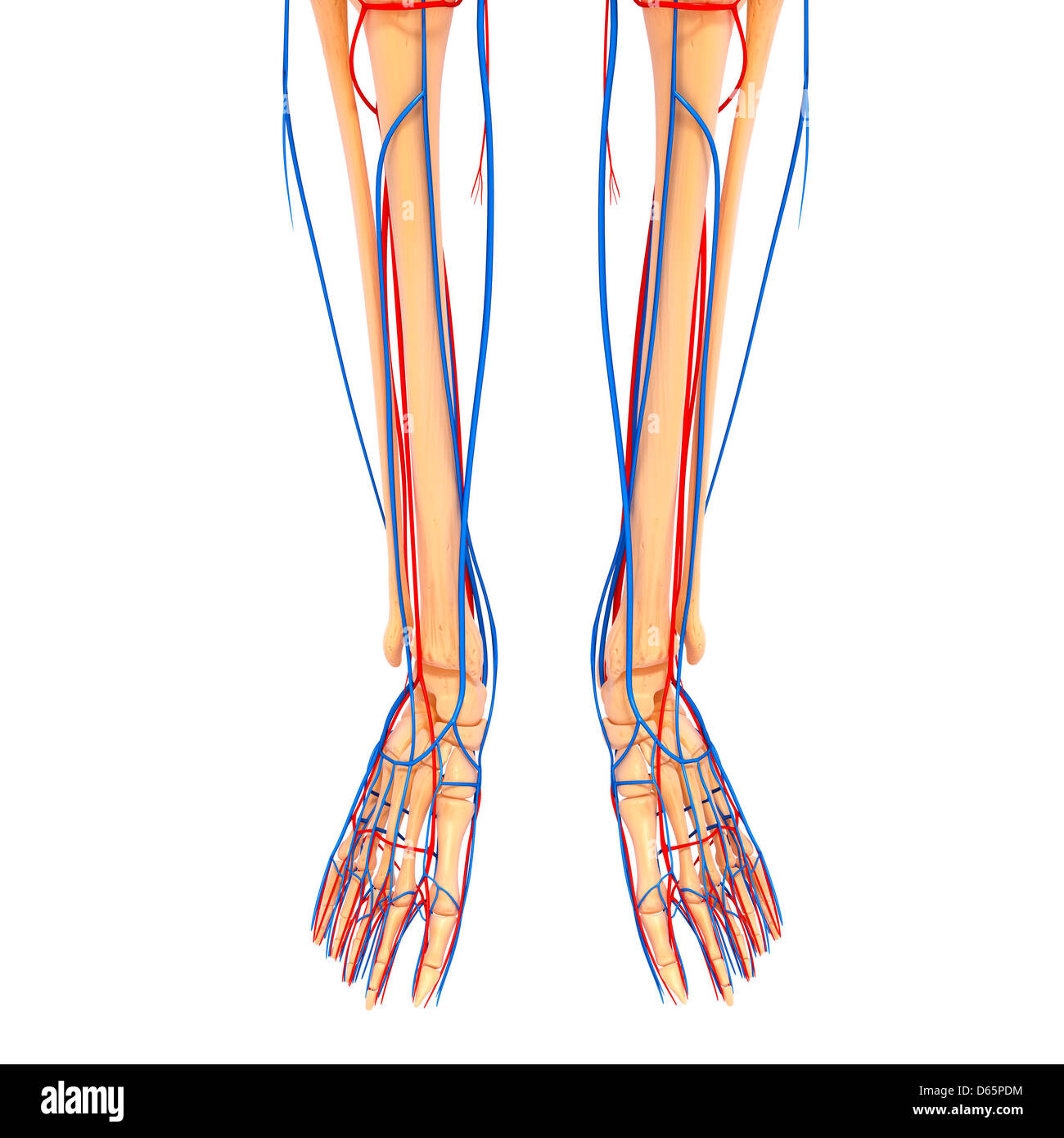 Lower Leg Bone Cut Out Stock Images Pictures Alamy