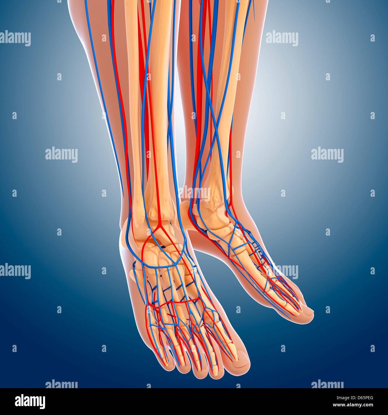 Lower Leg Anatomy Artwork Stock Photo 55446456 Alamy
