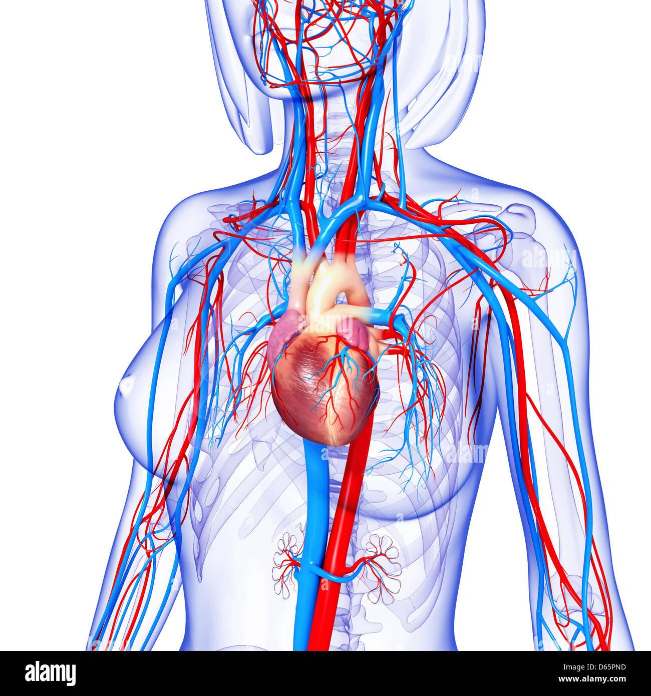 Female cardiovascular system, artwork Stock Photo: 55446649 - Alamy