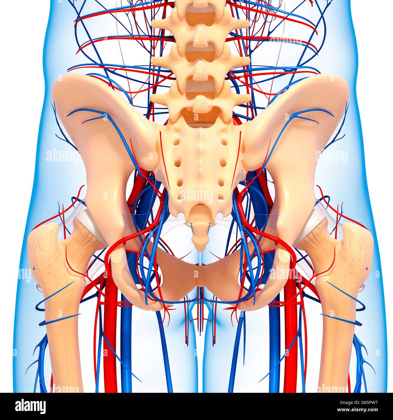Pelvis anatomy, artwork - Stock Image