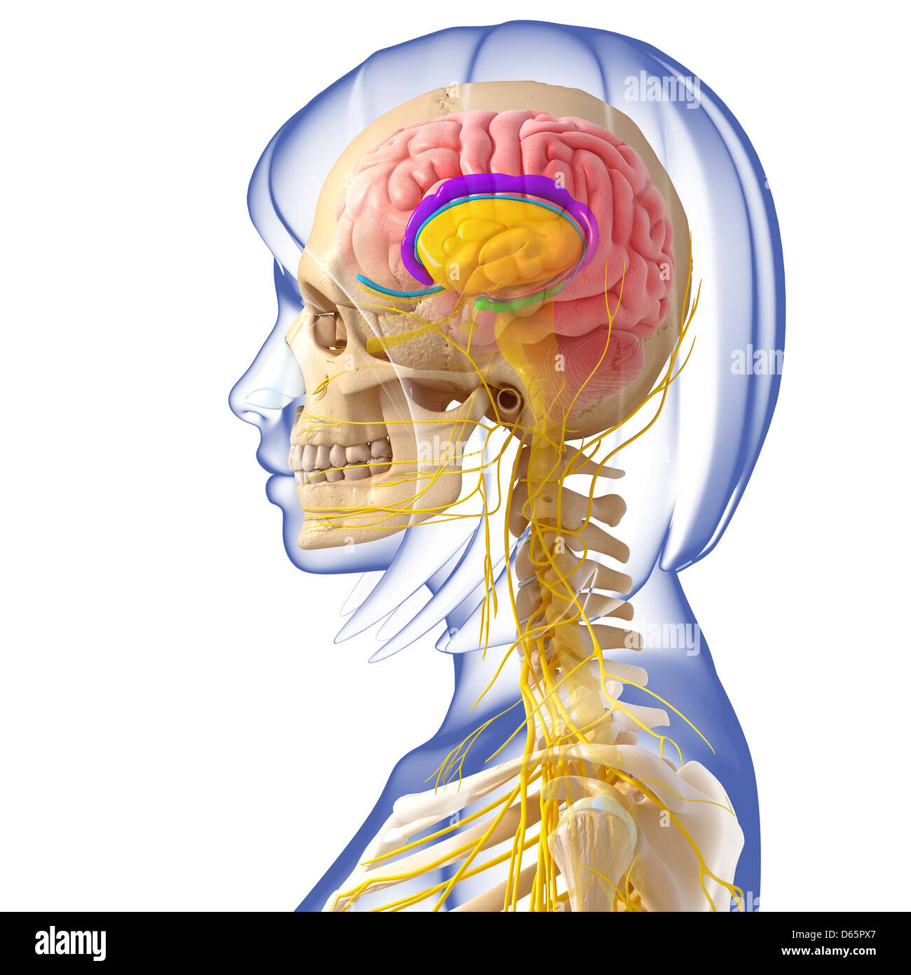 Anatomy Human Brain Side View Stock Photos Anatomy Human Brain