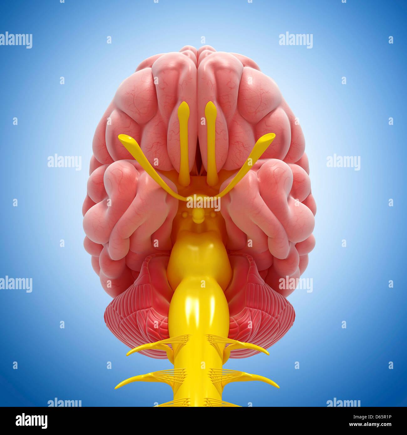 Brain anatomy, artwork - Stock Image
