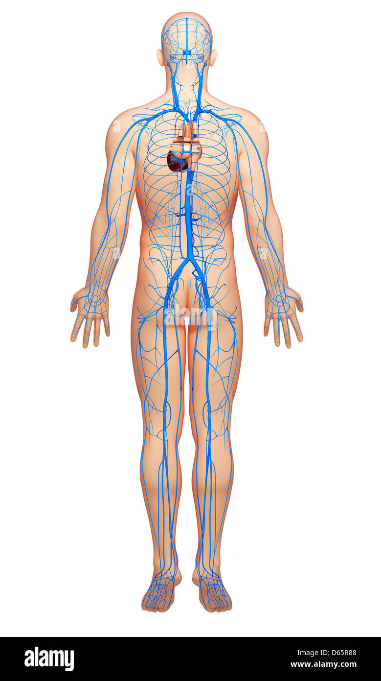 Femoral Vein Stock Photos Femoral Vein Stock Images Alamy