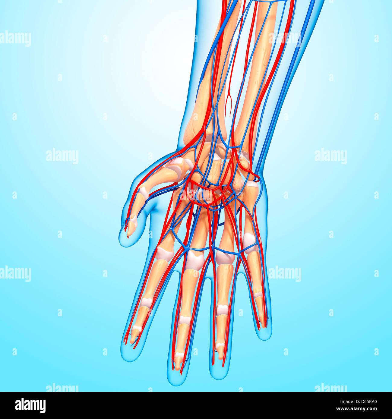 Skeleton Hand Close Up Stock Photos Skeleton Hand Close Up Stock
