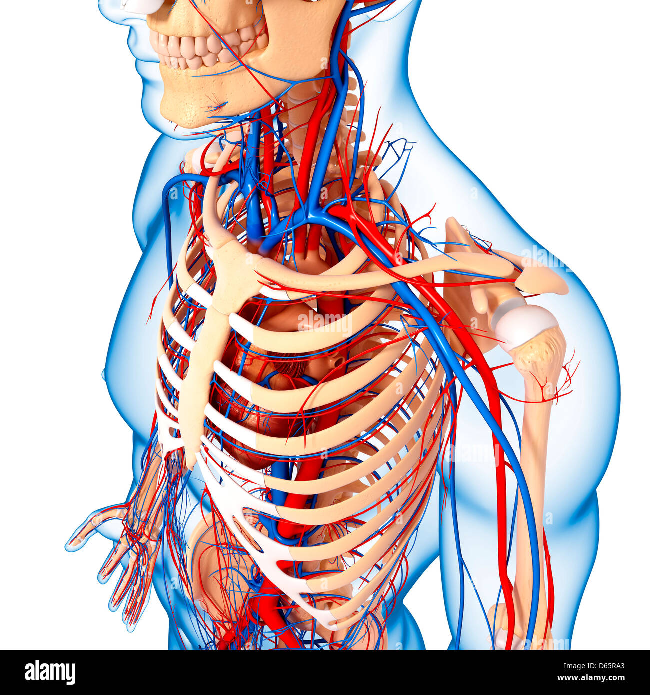 Upper body anatomy, artwork Stock Photo: 55447115 - Alamy