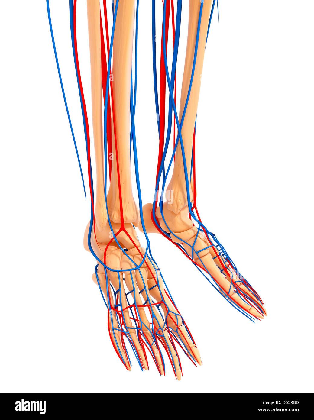 Lower Leg Anatomy Artwork Stock Photo 55447153 Alamy