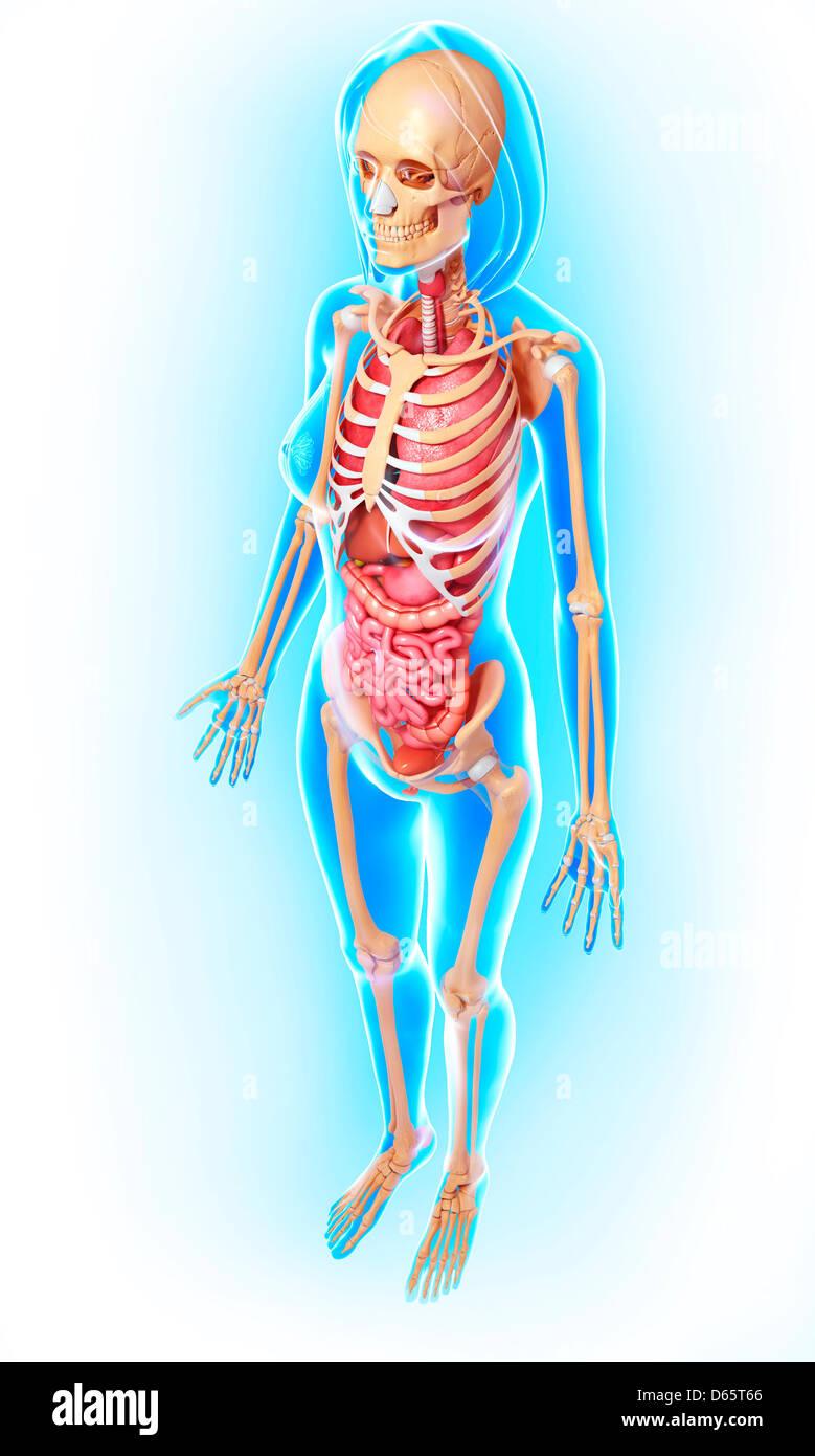 Illustration Female Lungs Skeleton Artwork Stock Photos ...