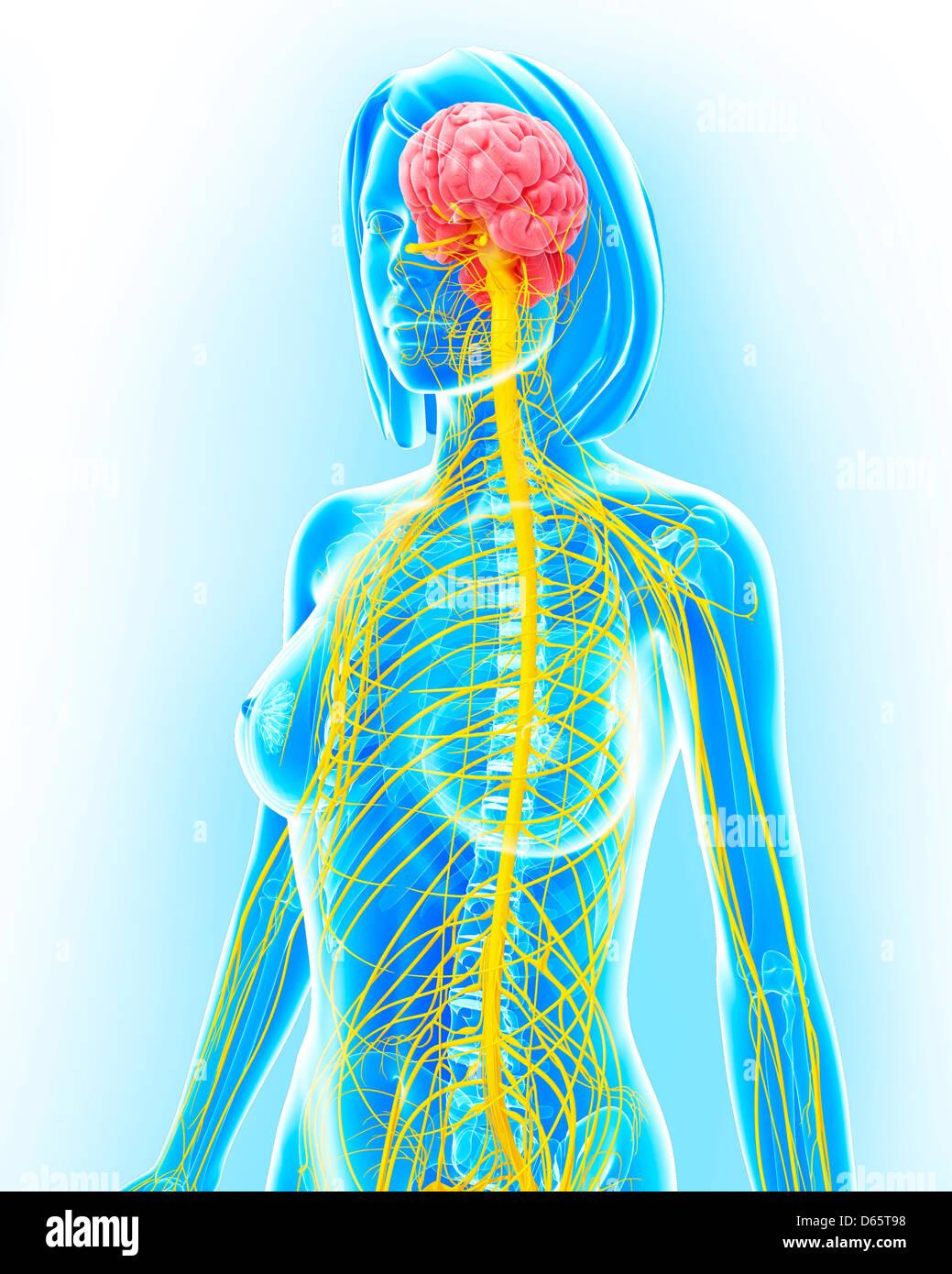 Female nervous system artwork stock photo 55447876 alamy female nervous system artwork ccuart Image collections
