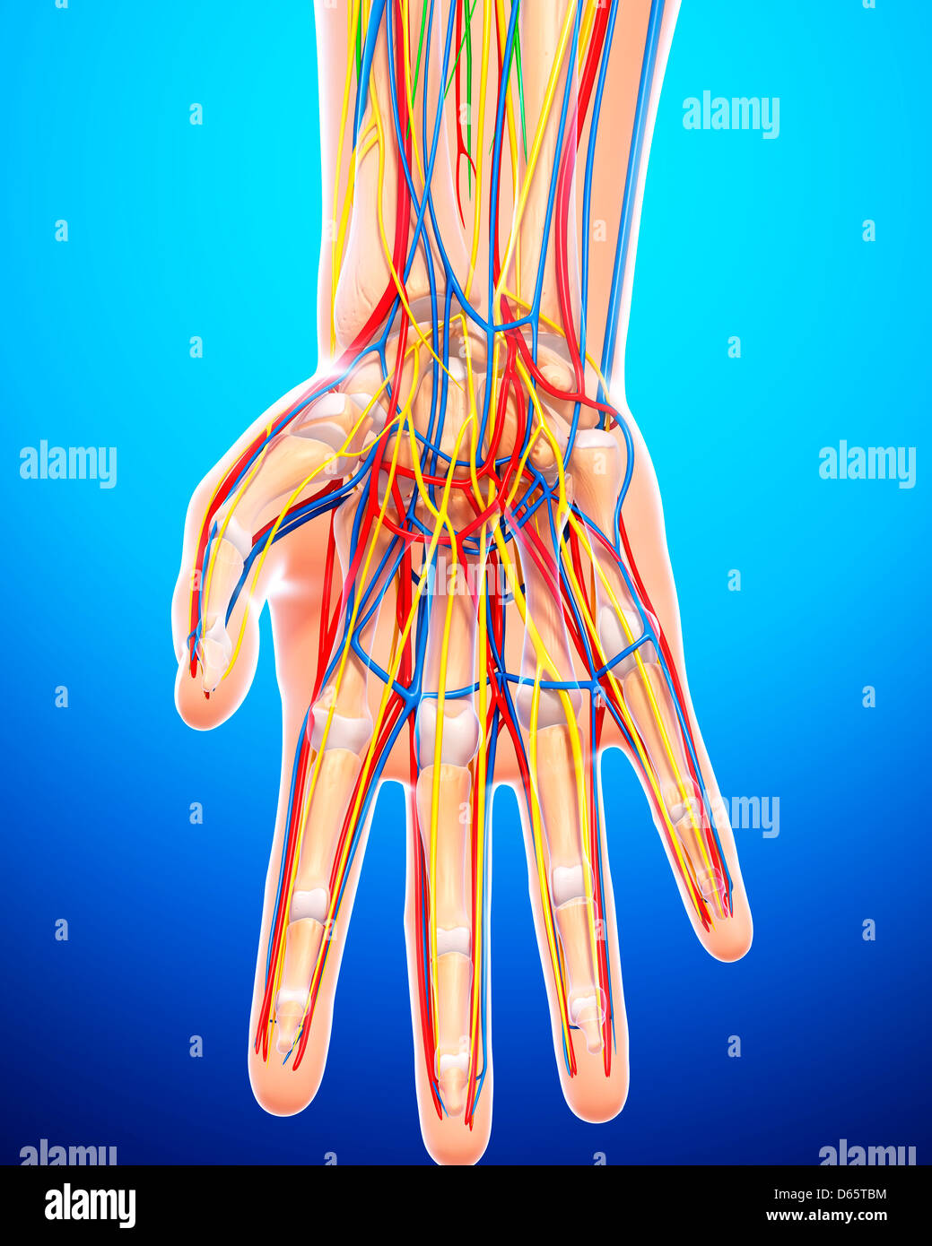 Back Of Hand Vein Stock Photos & Back Of Hand Vein Stock Images - Alamy
