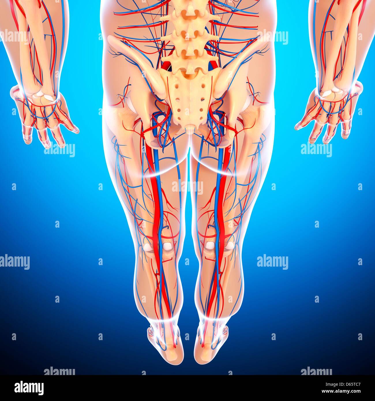Lower Body Anatomy Artwork Stock Photo 55447959 Alamy
