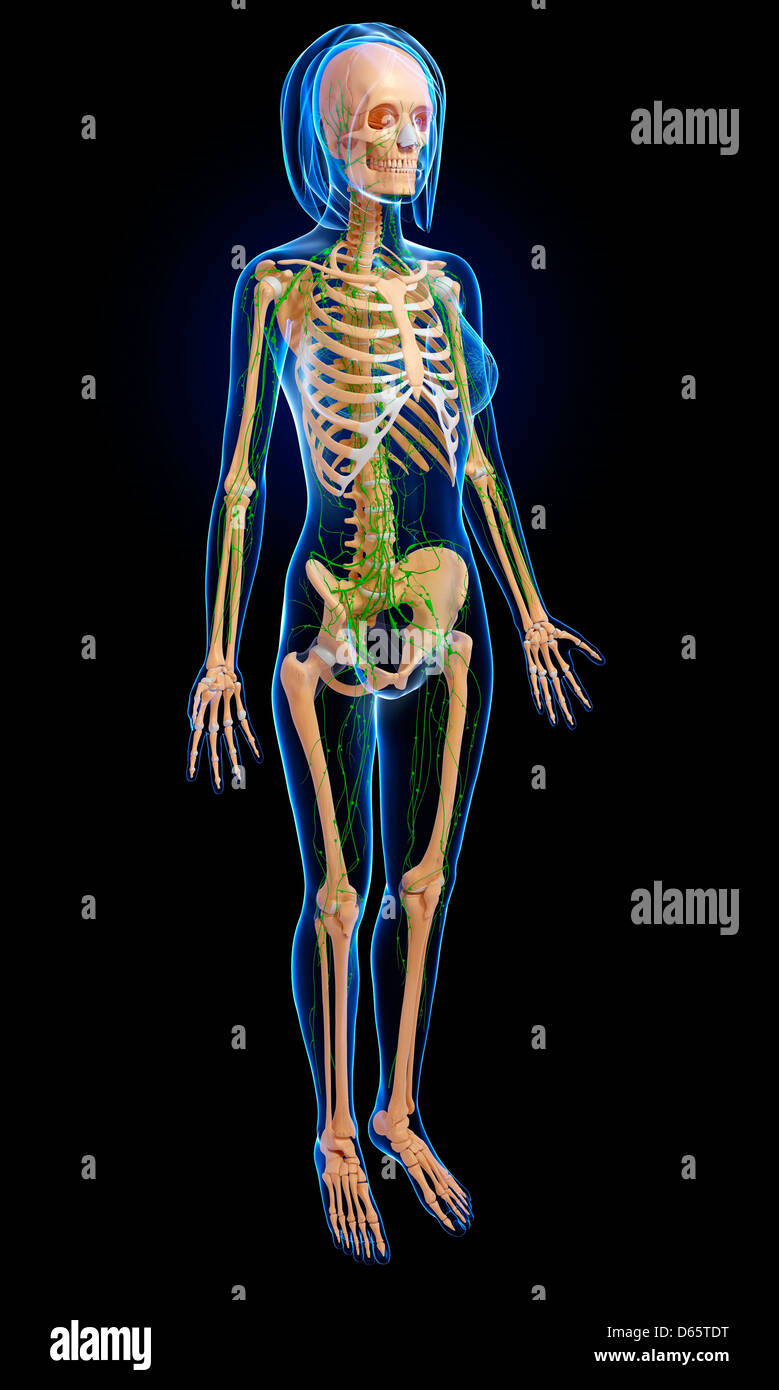 Female Anatomy Stock Photos Female Anatomy Stock Images Alamy