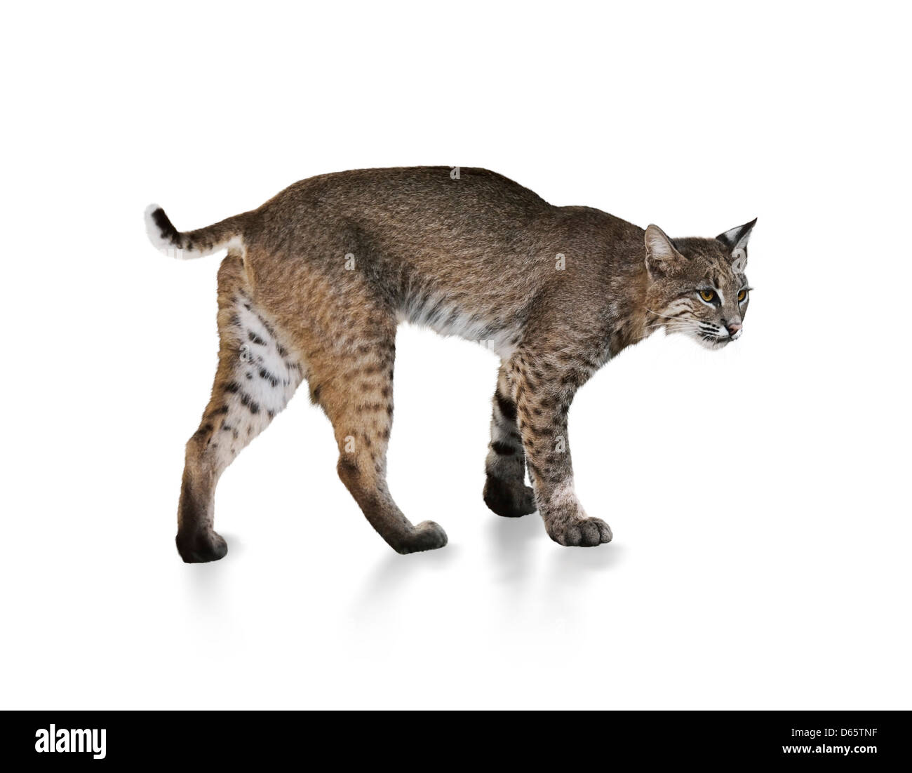 A Young Bobcat On White Background Stock Photo