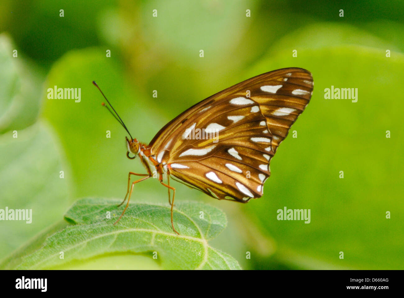 Gulf Fritillary (Agraulis vanilla) in the rainforest of the Osa Peninsua, Costa Rica. July 2012. - Stock Image