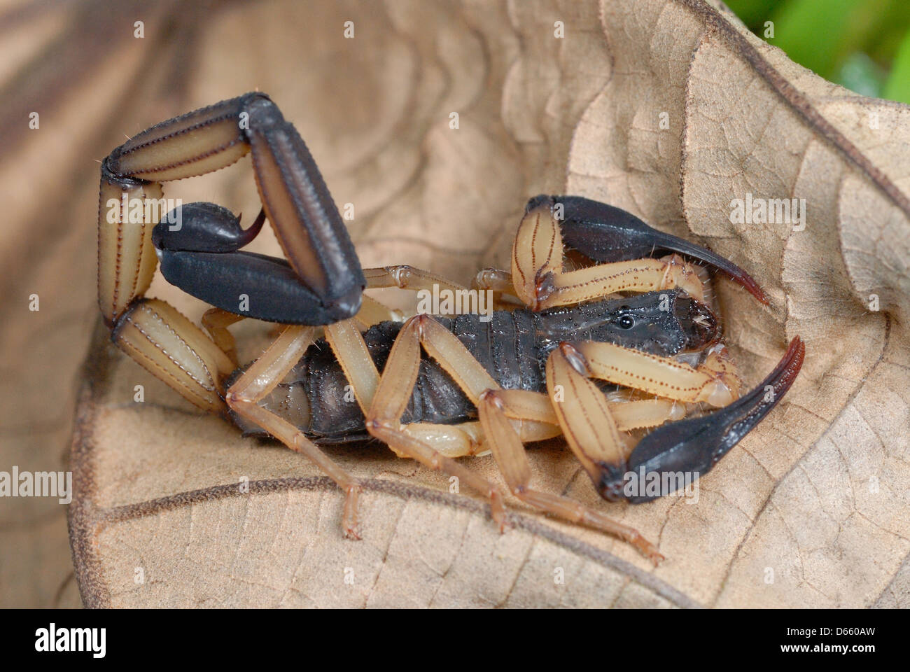 Bark Scorpion (Centruroides bicolour) in Costa Rica rainforest Stock Photo