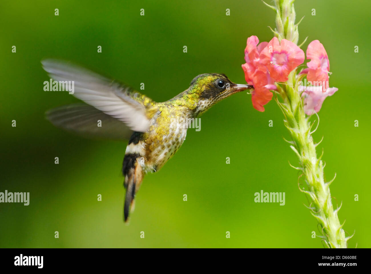 Black-crested Coquette hummingbird (Lophornis helenae) feeding - Stock Image