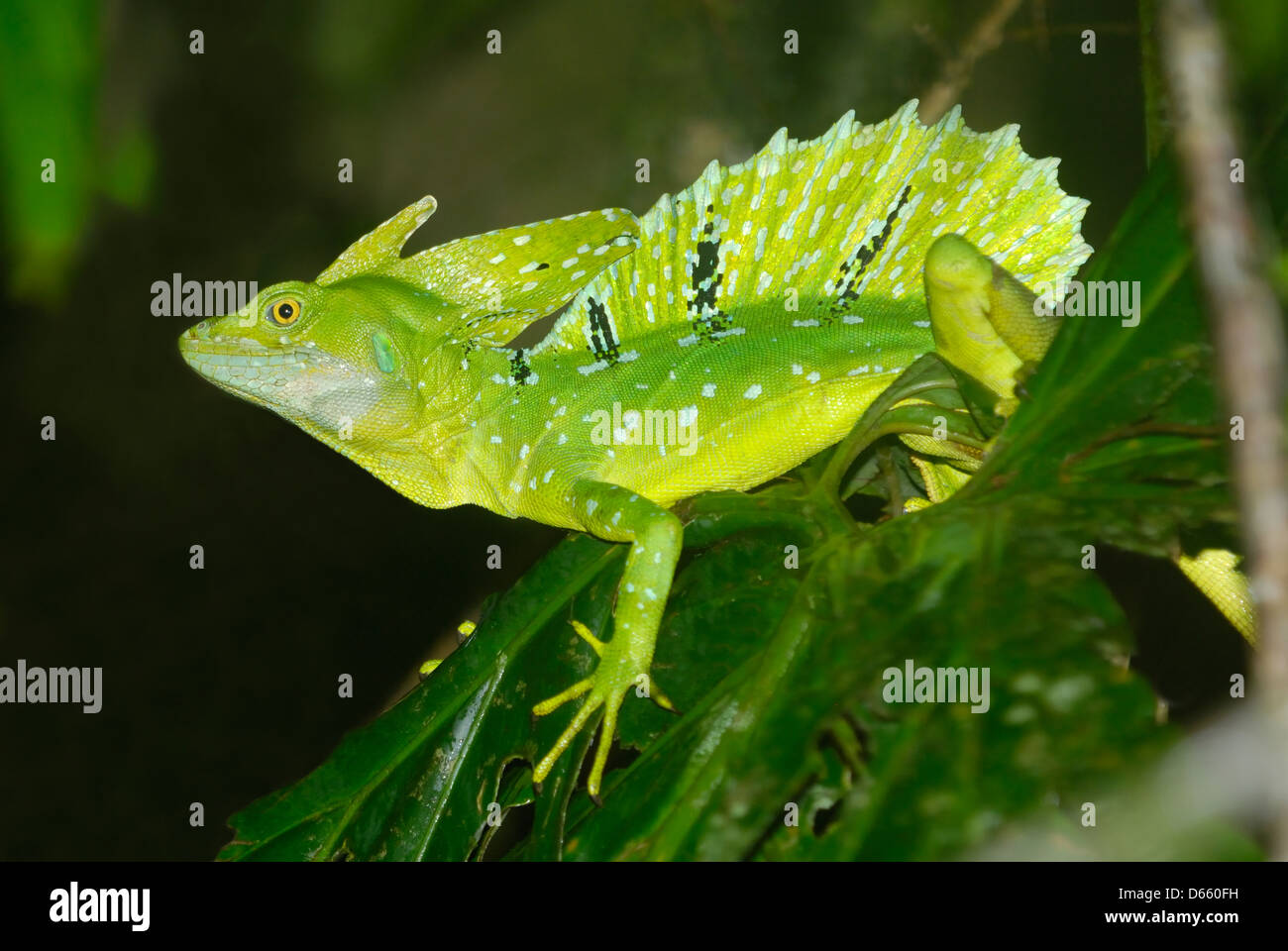 Adult male Plumed Basilisk (Basiliscus plumifrons) displaying - Stock Image