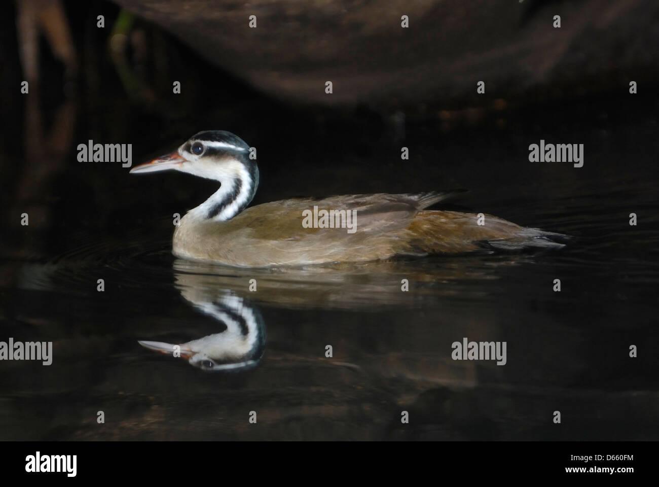 Sungrebe (Heliornis fulica) in Tortuguero National Park, Costa Rica. - Stock Image