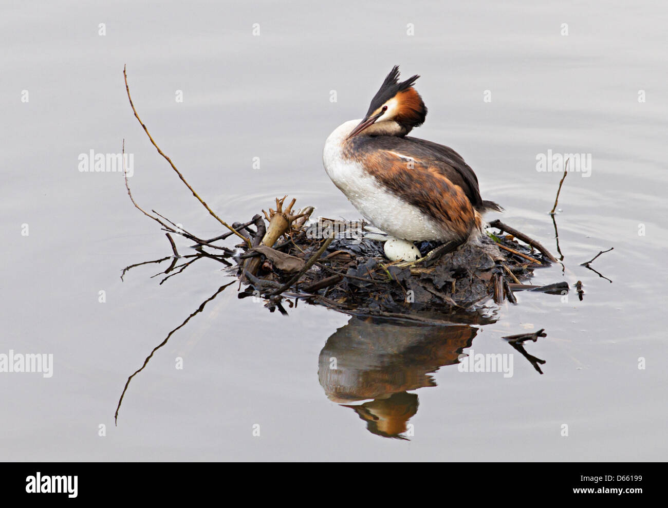 adult grebe  with chicks - Stock Image