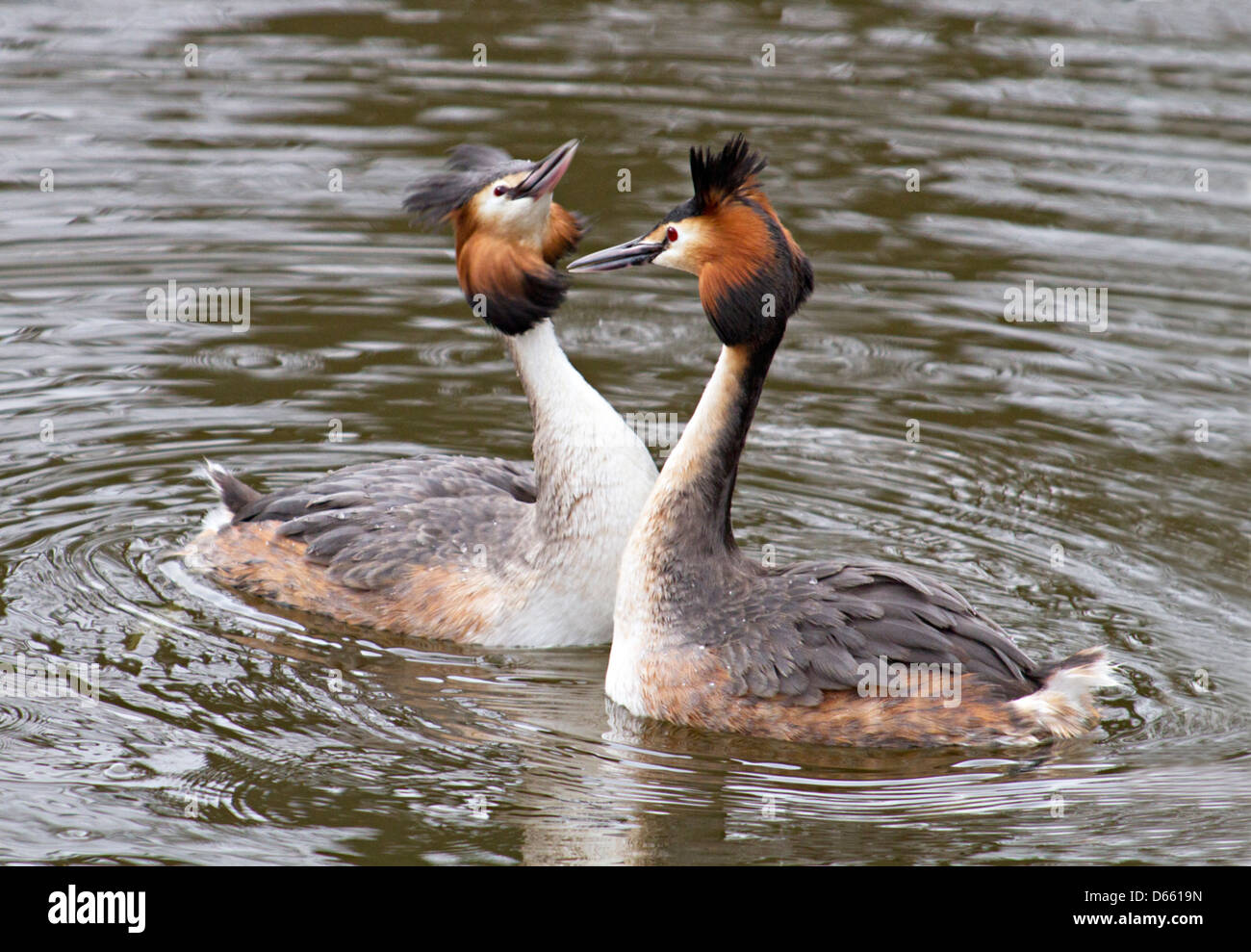 male and female great crested grebes - Stock Image