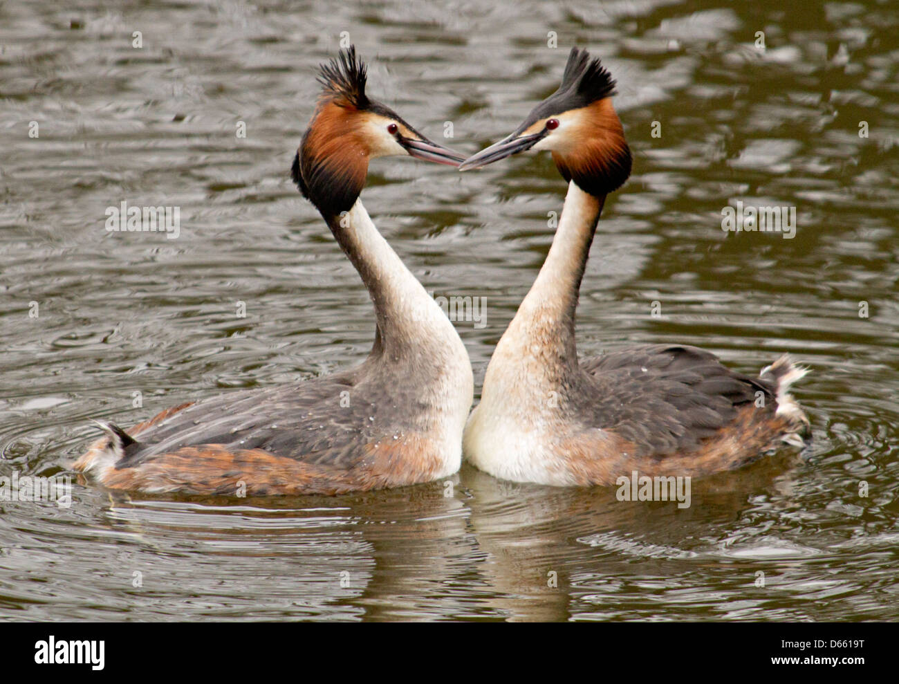 great crested grebe courtship display - Stock Image