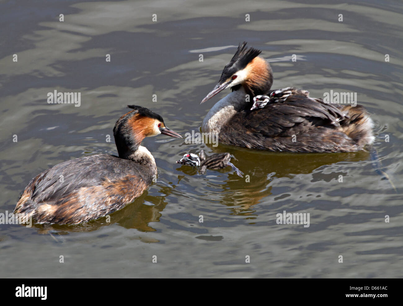 adult great crested grebes with their two chicks - Stock Image