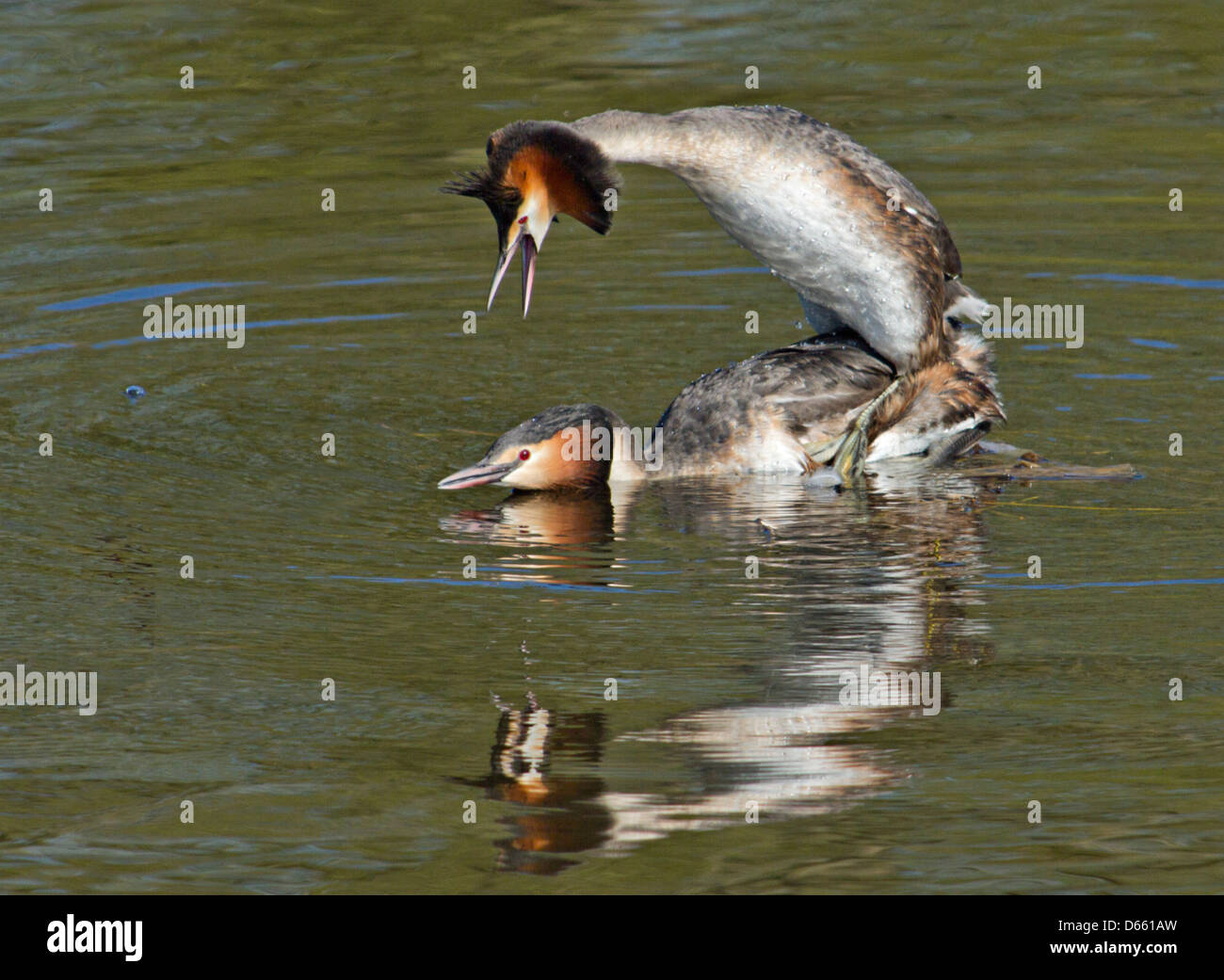 great crested grebes mating - Stock Image