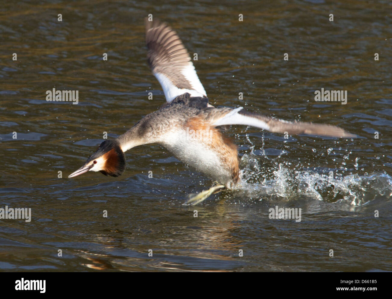 great crested grebe landing - Stock Image