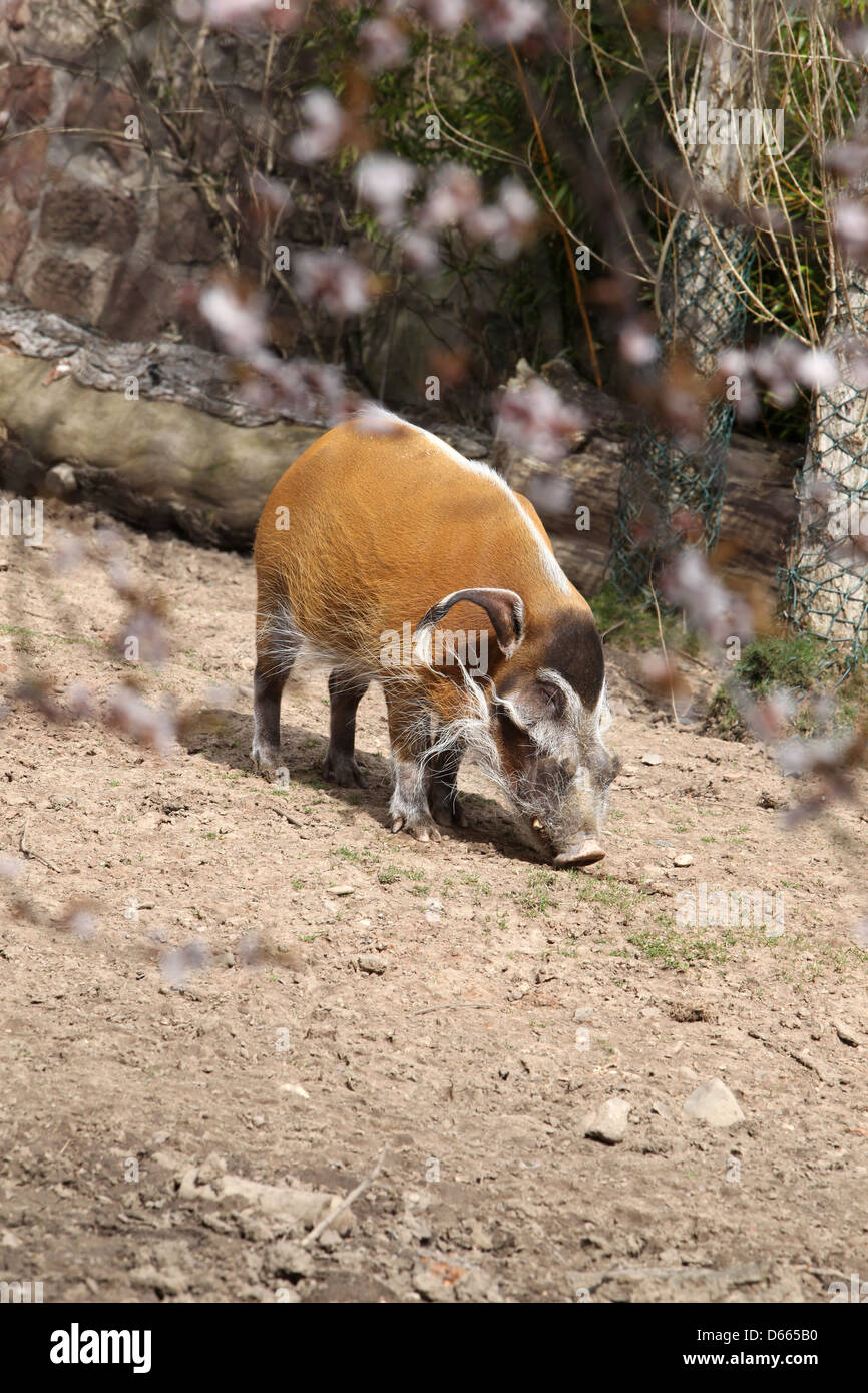 red river hogs - Stock Image