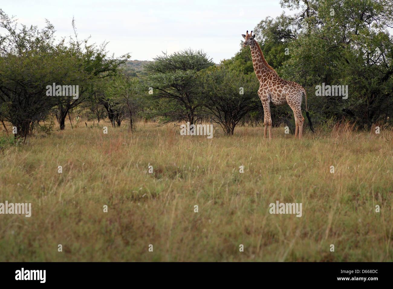 African Giraffe - Stock Image