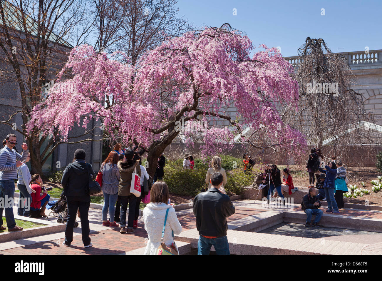Crowd enjoying the Weeping Higan Cherry tree in full bloom - Stock Image