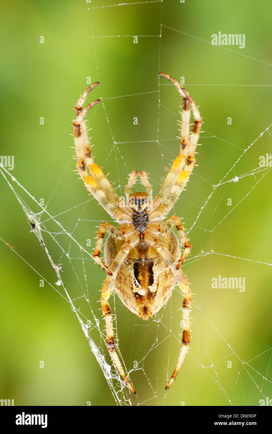 big frightening spider on cobweb in forest - Stock Image