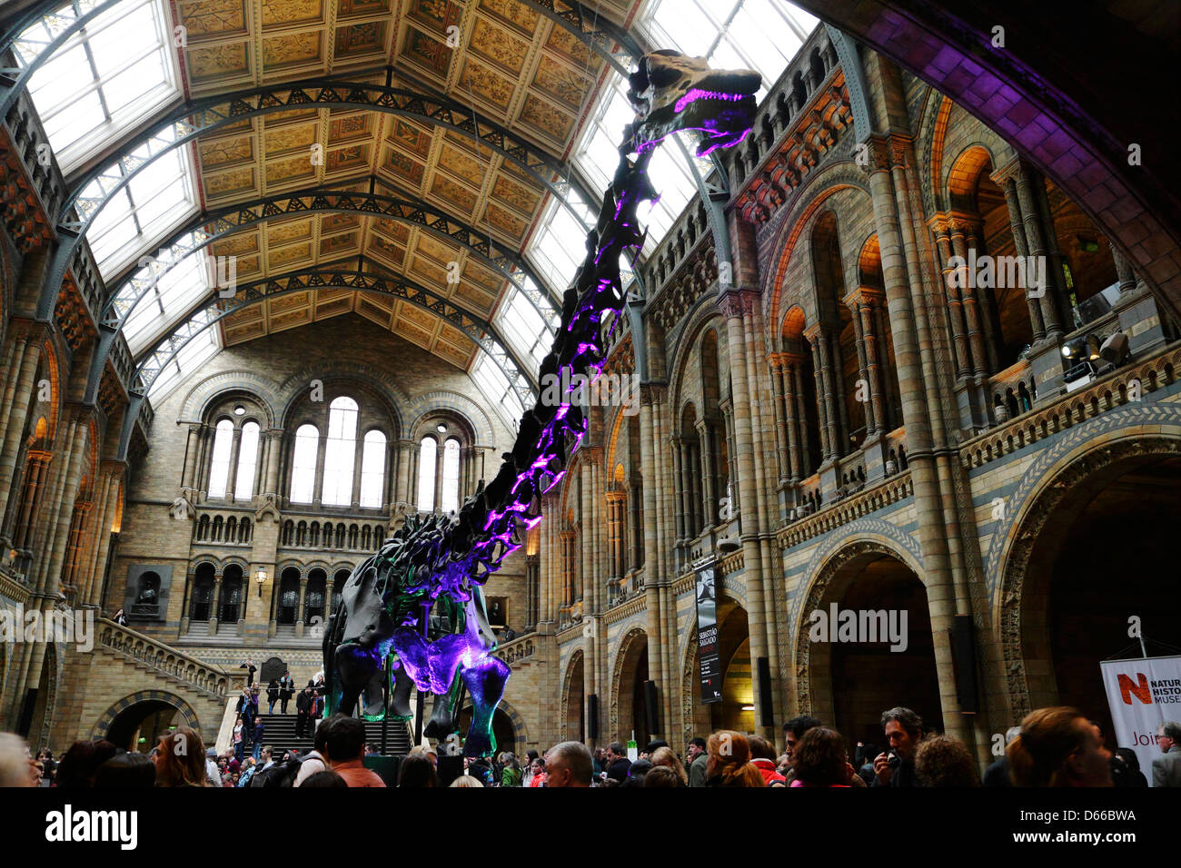 Diplodocus skeleton in central hall of Natural History museum, London, UK. - Stock Image