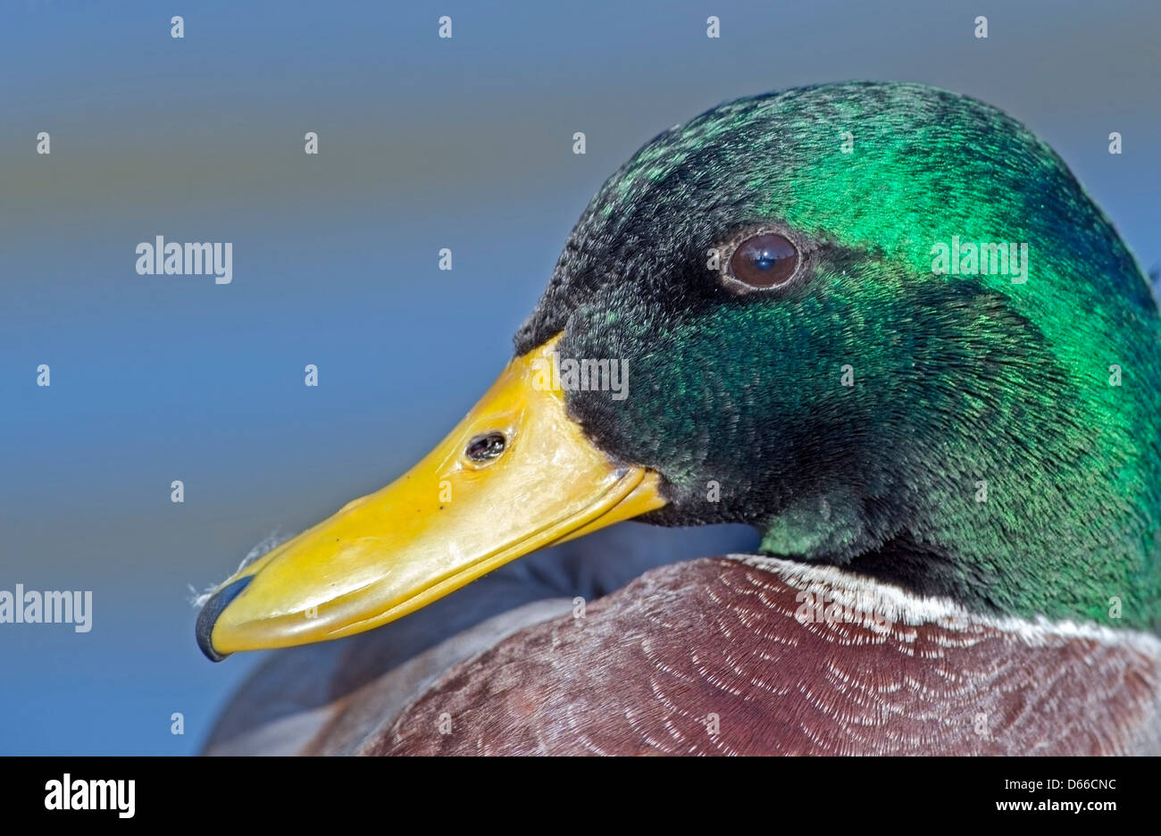 Anas platyrhynchos, Mallard  close up portrait shot - Stock Image