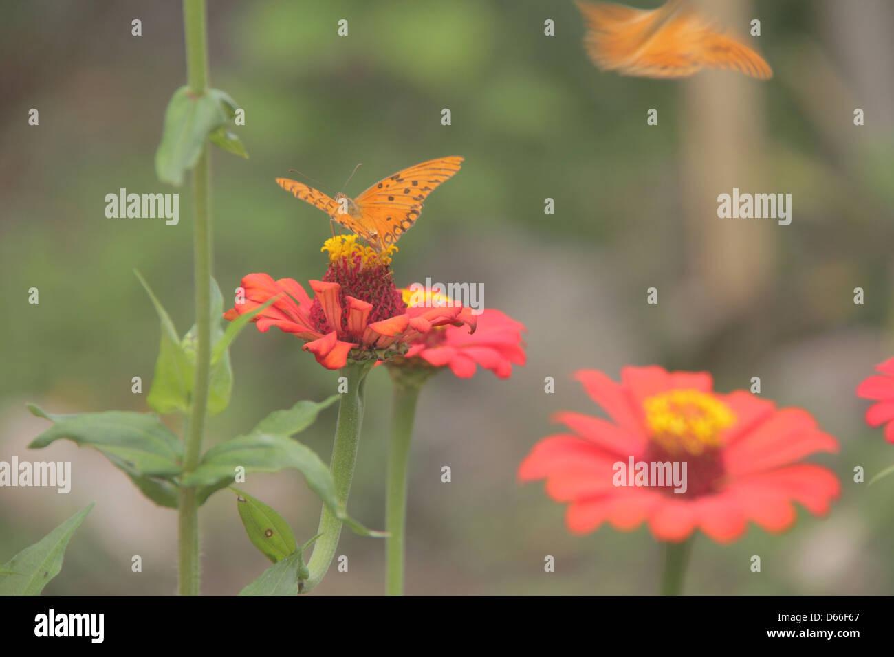 Butterfly on a flower of the cerrado goias chapada dos veadeiros - Stock Image