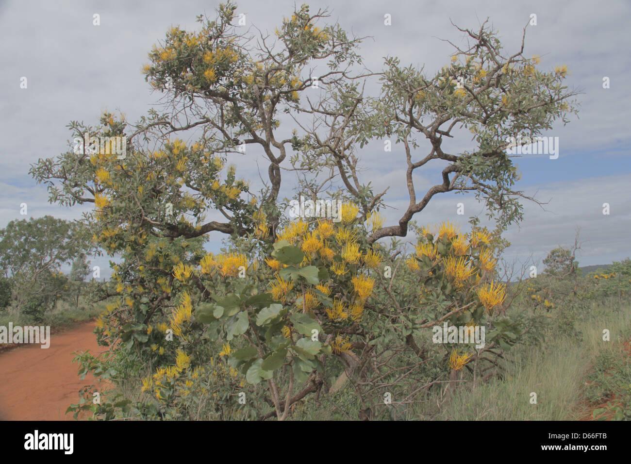 Mountain Cerrado vegetation flowers at Chapada dos Veadeiros  Central Brazil - Stock Image