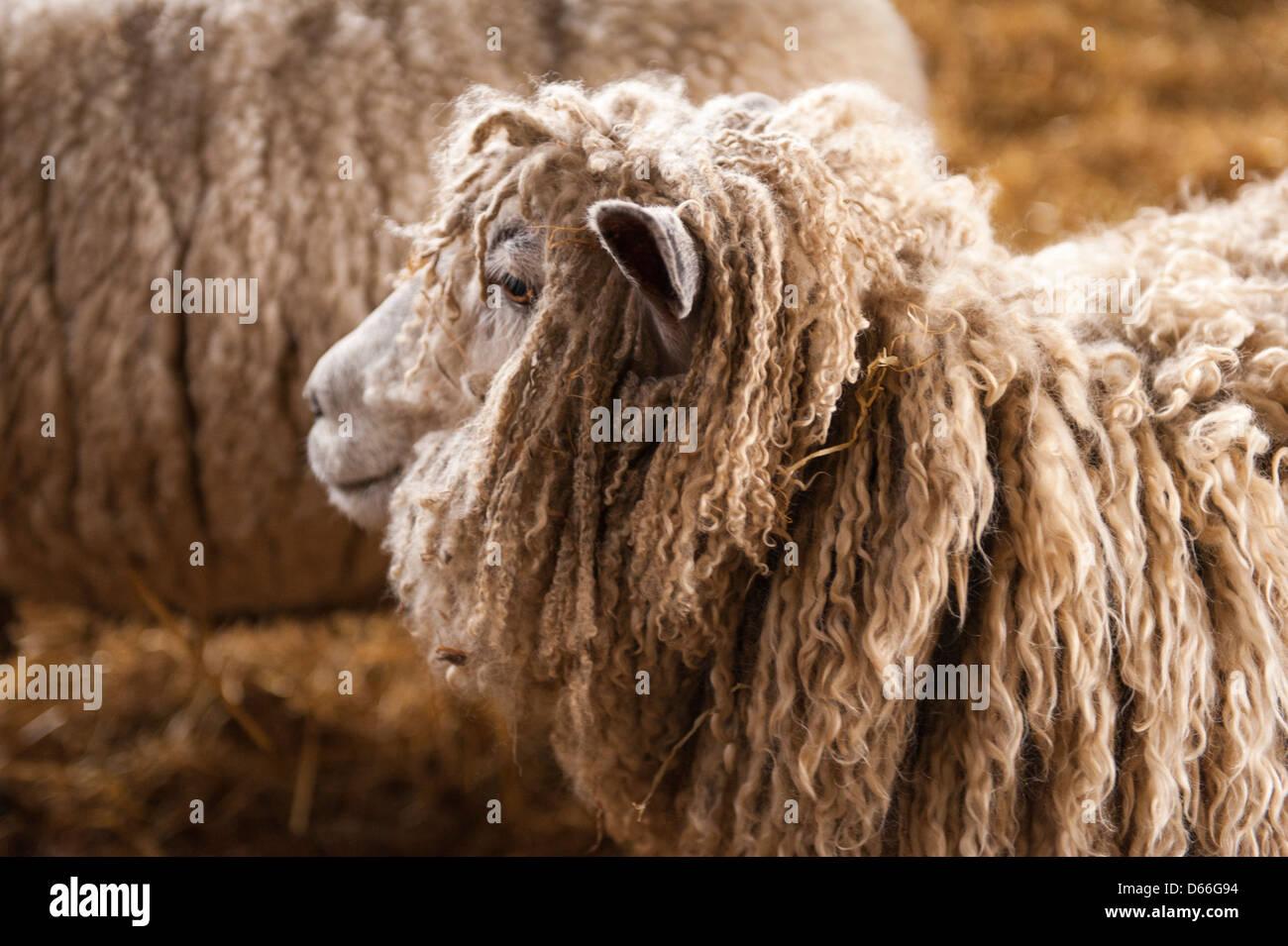 Vowley Farm Royal Wootton Bassett Wilts ewe sheep labour labor maternity pen barn rare Cotswold Cots Cotes Lion - Stock Image