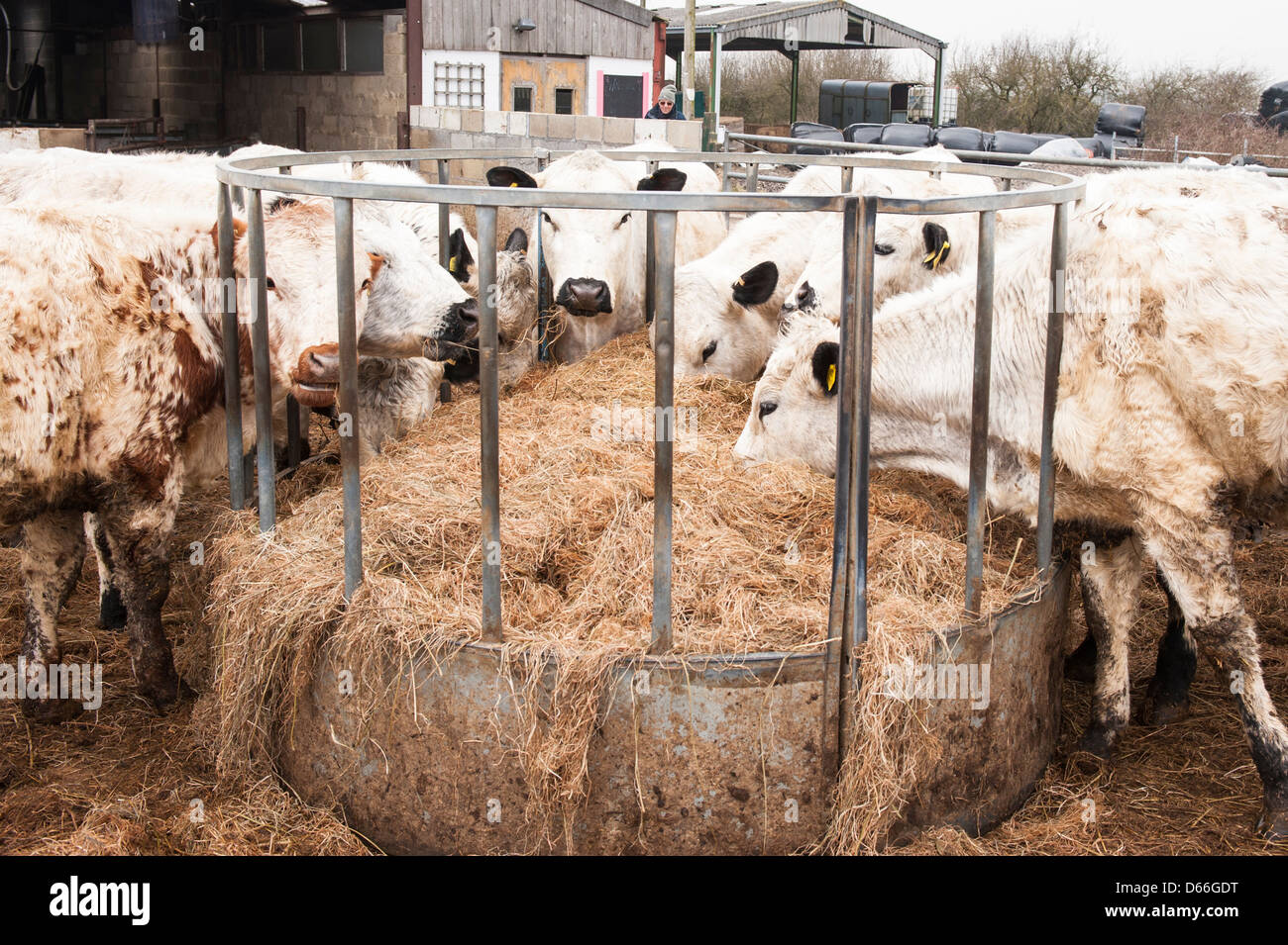 Vowley Farm , Royal Wootton Bassett , Wilts , British White Whites cow cows bull bulls cattle herd in paddock eating - Stock Image