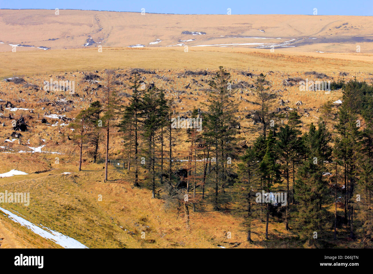 Bleak landscape in winter showing felled trees and living conifers in a managed  hillside plantation in the Isle - Stock Image