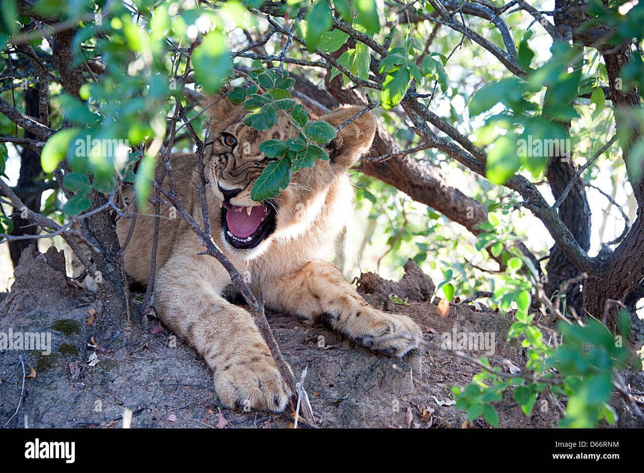 Lion cub on rock snarling.  Antelope Park, Zimbabwe, Africa - Stock Image