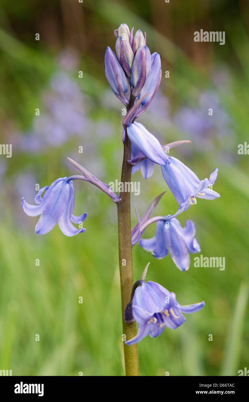 This is a Spanish bluebell flower. - Stock Image